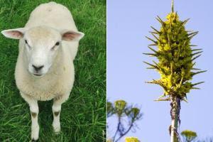 Άνθισε φυτό που τρώει πρόβατα