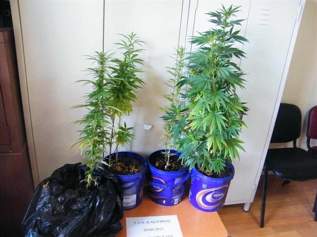 Σύλληψη τριών αλλοδαπών για καλλιέργεια κάνναβης, στην Ασβεστόπετρα Κοζάνης