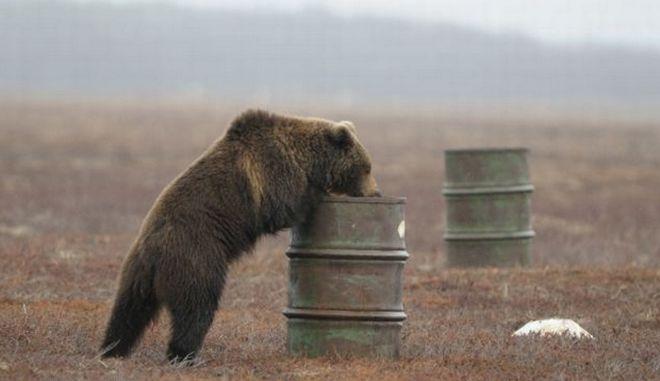 Γρεβενά :Αρκούδα κατασπάραξε ζώα μέσα σε στάβλους πέντε κοινοτήτων, σε Κυπαρίσσι, Λείψι, Τρίκορφο, Ροδιά και Αηδόνια