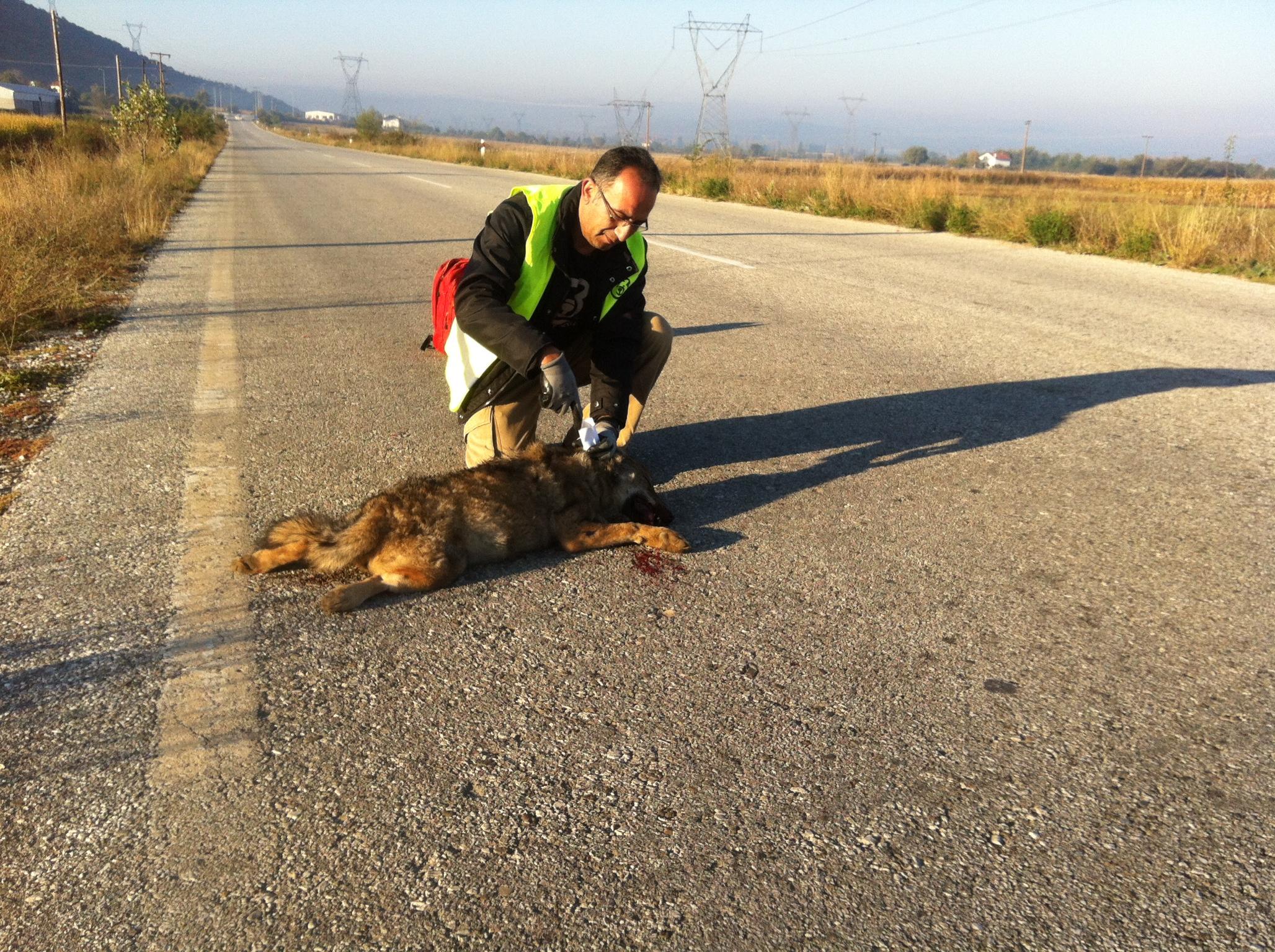 Νεαρή θηλυκή λύκαινα νεκρή σε τροχαίο ατύχημα στην Καστοριά