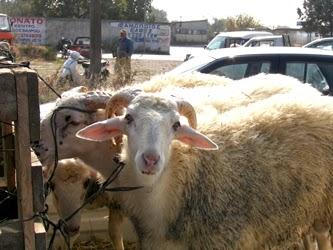 Η ευλογιά «χτυπάει» την κτηνοτροφία – Τι λέει το Κτηνιατρικό Τμήμα Γρεβενών