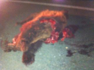 Τροχαίο ατύχημα με θύμα αρκούδα πριν από το κόμβο του χωριού Αλιάκμονας της Δημοτικής Ενότητας Νεάπολης