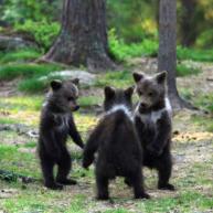 Το παιχνίδι των μικρών της αρκούδας…