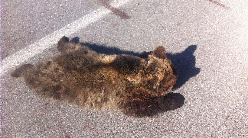Ακόμα ένα τροχαίο με θύμα νεαρή αρκούδα στην Εγνατία