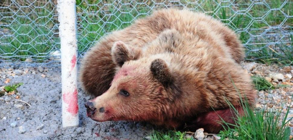 (video): Υπέκυψε η αρσενική αρκούδα η οποία χτυπήθηκε στην Εγνατία Οδό (στο τμήμα «Σιάτιστα- Γρεβενά» )  – Η πρώτη νεκρή αρκούδα σε τροχαίο για το 2014