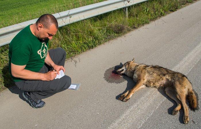 Χτυπημένος από διερχόμενο όχημα ο νεαρός λύκος ξεψύχησε πάνω στο δρόμο Πτολεμαϊδας – Αμύνταιου