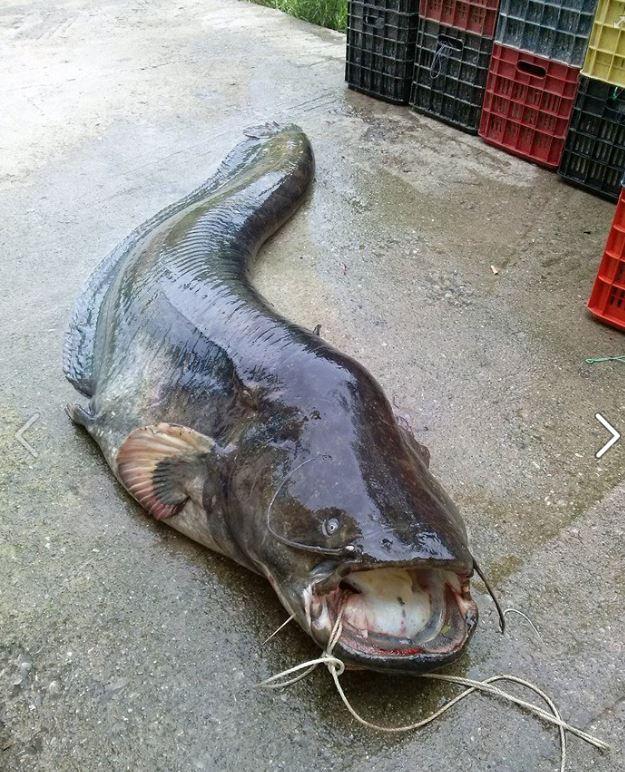 Γουλιανός βάρους περίπου 140 κιλών και μήκους 2,30 μέτρων στη λίμνη Πολυφύτου! (Φωτογραφίες)