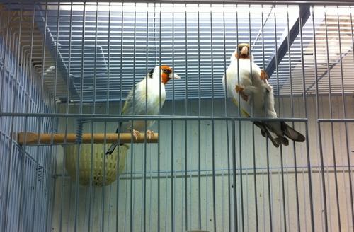 Κοζάνη: Χειροπέδες σε λαθρέμπορο άγριων πουλιών – Απελευθερώθηκαν 435 καρδερίνες!!!