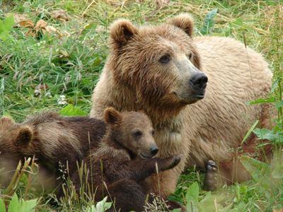H Kυνηγετική Ομοσπονδία Μακεδονίας – Θράκης για τα συνεχή περιστατικά επιθέσεων αρκούδων σε ανθρώπους και σε αγροτικά ζώα στη Δυτική Μακεδονία