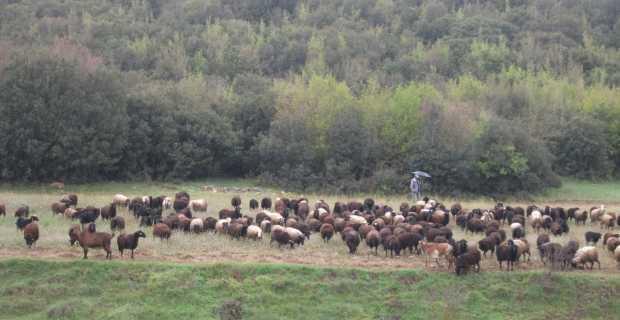 Έγινε κι αυτό …Στο  σφυρί βγάζει κοπάδι με πρόβατα ο δήμος Πολυγύρου !!!