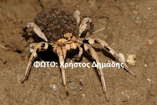 Αράχνη λύκος (Lycosidae) στην Καληράχη Γρεβενών (φωτογραφίες)
