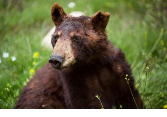 Πλήρης ημερών πέθανε ο Γιώργος, μία από τις αρκούδες του «Αρκτούρου»