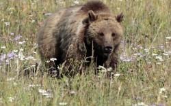 Γρεβενά: Οι αρκούδες κάνουν βόλτα στις πλατείες των χωριών (video)