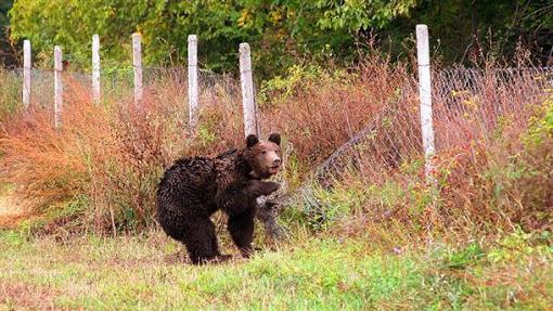 Αρκούδα βόλταρε … στην πόλη των Γρεβενών !!!