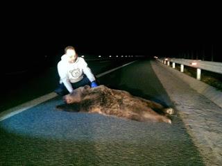 Καστοριά: Άλλη μια αρκούδα νεκρή σε τροχαίο σε κάθετο άξονα της Εγνατίας Οδού
