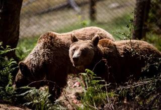Γρεβενά : Αρκούδες… καταστρέφουν – μετά τα κοιμητήρια – και  Εικονοστάσια!