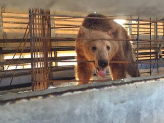 Τρία αρκουδάκια από την Αλβανία θα φιλοξενούνται στο καταφύγιο του «Αρκτούρου»