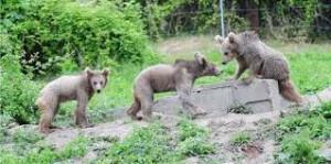 Τρία αρκουδάκια από τη Γεωργία και πέντε λύκοι από την Αυστρία στον Αρκτούρο