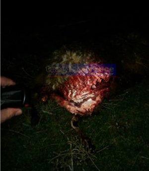 Επιτέθηκαν σε μαντρί 3 αρκούδες στην Ιεροπηγή Καστοριάς. Εμφανίστηκαν μέσα στο χωριό