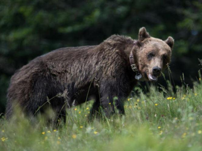 Αρσενική αρκούδα πήδηξε την περίφραξη για να βρεθεί με τα θηλυκά του «Αρκτούρου»
