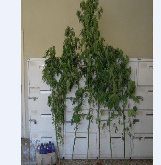 Γρεβενά: Συνελήφθη 63χρονος για καλλιέργεια 6 δενδρυλλίων κάνναβης