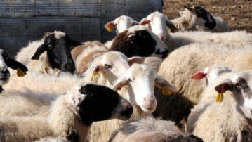Γρεβενά: Eτήσια απογραφή του Ζωικού Κεφαλαίου στην Κτηνιατρική Υπηρεσία έως 15 Δεκεμβρίου