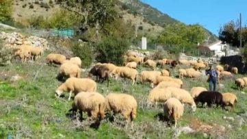 Μέτρα ενίσχυσης της κτηνοτροφίας ανακοίνωσε ο Αποστόλου