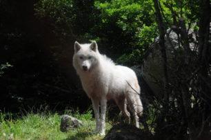 Μία αγέλη έξι λύκων από την Ιταλία στο Καταφύγιο του ΑΡΚΤΟΥΡΟΥ (βίντεο-φωτογραφίες)