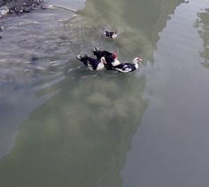 4 νέες πάπιες στο ποτάμι του Δοτσικού από τον Κυνηγετικό σύλλογο Γρεβενών