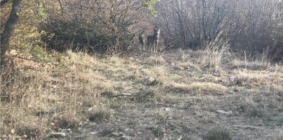 Ο ΑΡΚΤΟΥΡΟΣ έσωσε δύο ακόμη λύκους από την αιχμαλωσία στην Σερβία