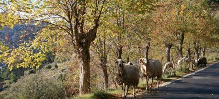 Ομαδική ζωοκτονία στην Ναύπακτο- Έκαψε 100 πρόβατα για εκδίκηση