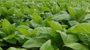 Έχουν εκδοθεί και αναρτηθεί στην Π.Ε. Γρεβενών οι αναλυτικές καταστάσεις του προγράμματος «Ολοκληρωμένη διαχείριση στην παραγωγή καπνού»