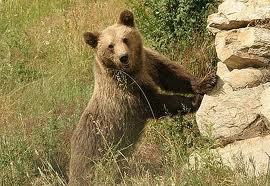 Μια αρκούδα ο φόβος και ο τρόμος στην Καστοριά