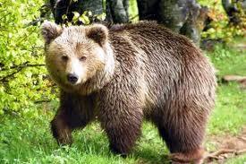 Έκτακτα μέτρα για την αντιμετώπιση των συχνών προσεγγίσεων αρκούδων σε κατοικημένους οικισμούς