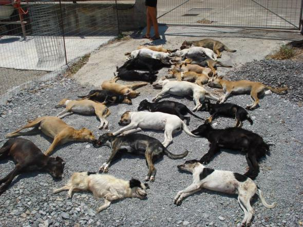 Δηλητηρίασαν 23 σκυλιά σε οικόπεδο φιλοζωικής