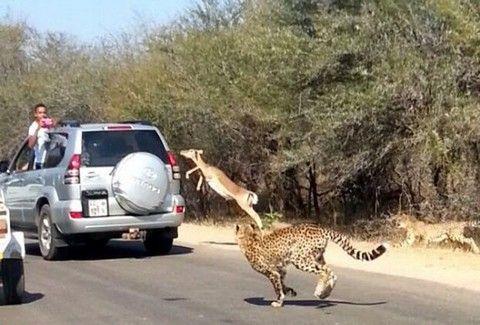 """ΑΠΙΣΤΕΥΤΟ! Αντιλόπη """"ΜΠΟΥΚΑΡΕΙ"""" σε αυτοκίνητο για να ΣΩΘΕΙ από τσιτάχ!!! (Φώτο – Bίντεο)"""