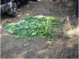 Γρεβενά: 120 δενδρύλια χασισόδεντρων στην περιοχή Τρικόρφου!!!