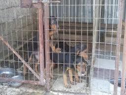 Έκλεψαν 4 κυνηγόσκυλα από το χωριό Κρανιά. Συνελήφθησαν από την Αστυνομία