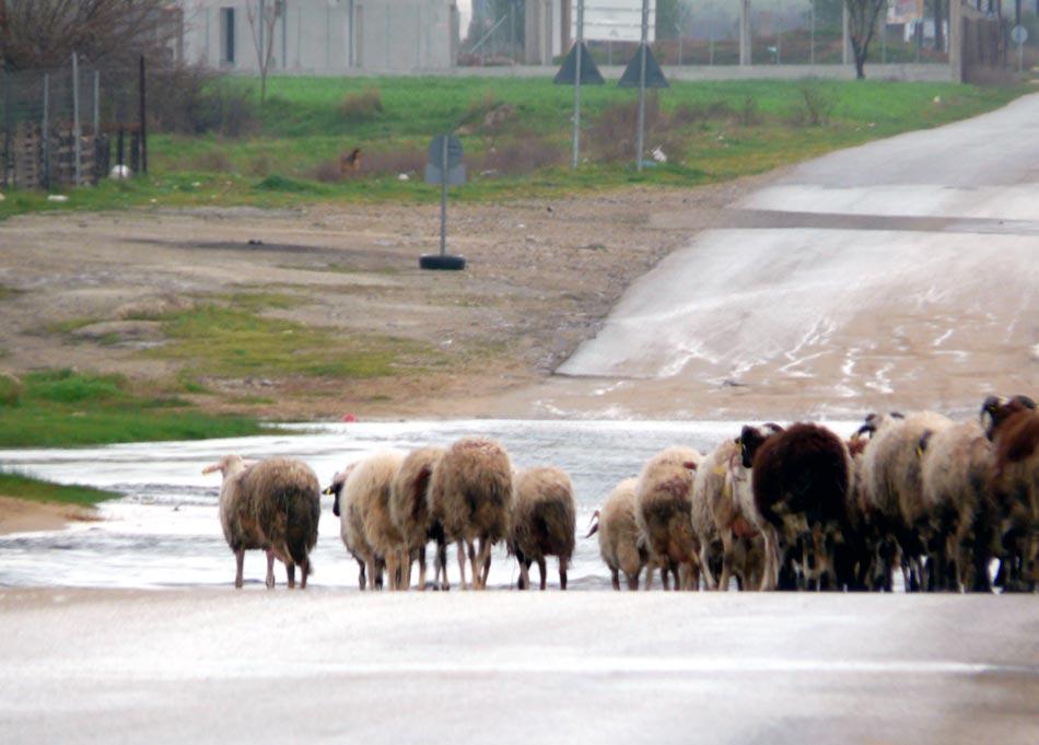 Απογραφή του ζωικού κεφαλαίου στην εκμετάλλευση των αιγοπροβάτων στο Νομό Γρεβενών