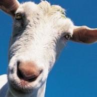Κατσίκια με αντικλεπτικό σύστημα -Η ιδέα κτηνοτρόφου που απηύδησε με τις κλοπές