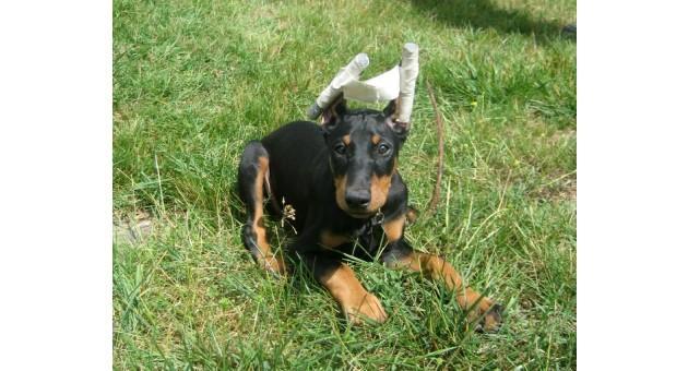 Απαγορεύετε και με νόμο, η κοπή αυτιών και ουράς σε σκύλους