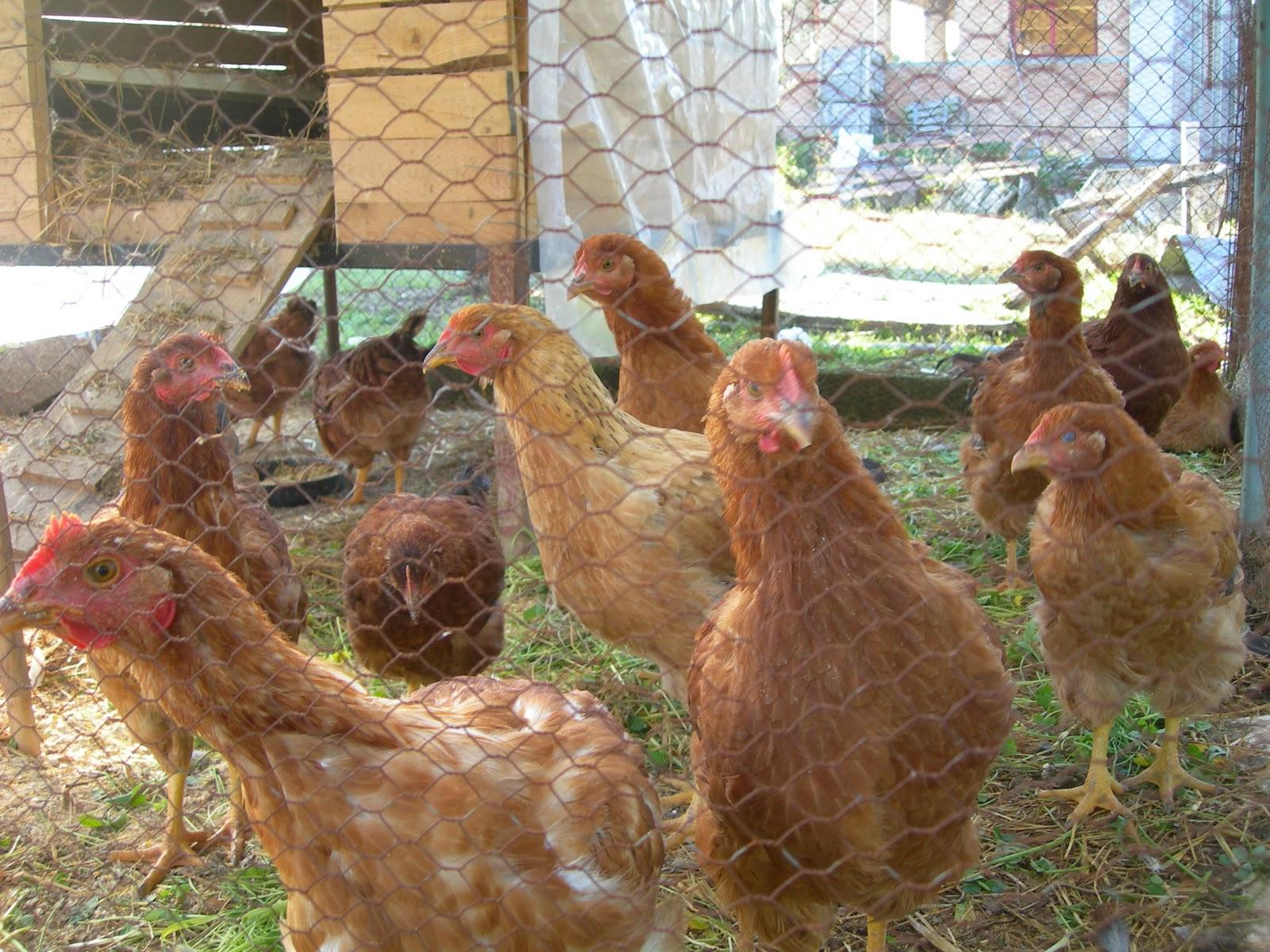 Γρεβενά: Έκλεψαν 11 κότες μέρα μεσημέρι…