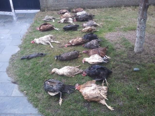 Καστοριά: Κουνάβι έπνιξε 20 κότες και 2 πάπιες στην Πεντάβρυσο (Φωτογραφίες)