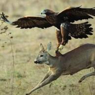 Βίντεο: Αετός κυνηγάει αγριοκάτσικα