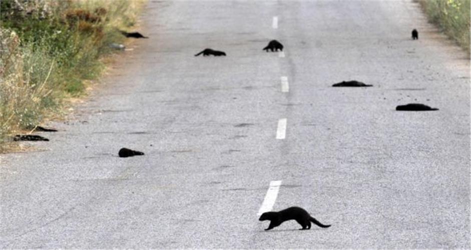 Καστοριά: Τα αγνοούμενα μινκ απειλούν το οικοσύστημα