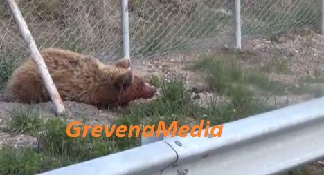 Νεαρό αρκουδάκι το νέο θύμα τροχαίου στην Εγνατία Οδό (Βίντεο)