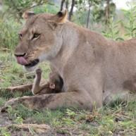 Απίστευτη συμπεριφορά λέαινας σε μωρό μπαμπουίνο!