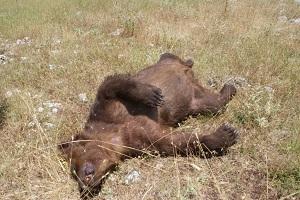 «Εκτελούν» αρκούδες στις Πρέσπες – Βρέθηκαν δύο νεκρές από σφαίρες