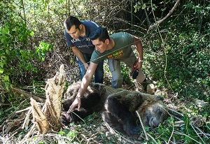 Ο ΑΡΚΤΟΥΡΟΣ απελευθέρωσε την αρκούδα που πιάστηκε σε παράνομη παγίδα. Οι παγίδες … όμως δεν κάνουν εξαιρέσεις…!!!