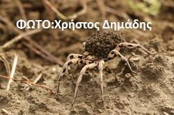 Αράχνη λύκος (Lycosidae) (10)